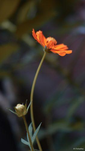 Coreopsis Tickseed Flower 4K Ultra HD Mobile Wallpaper