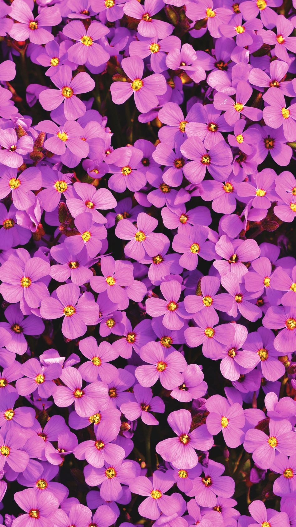 Purple Aubrieta Flowers 4K Ultra HD Mobile Wallpaper