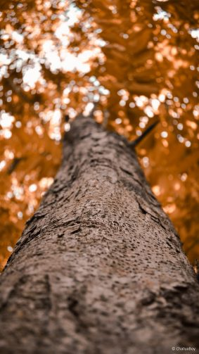 Tree Looking Up Photography 4K Ultra HD Mobile Wallpaper