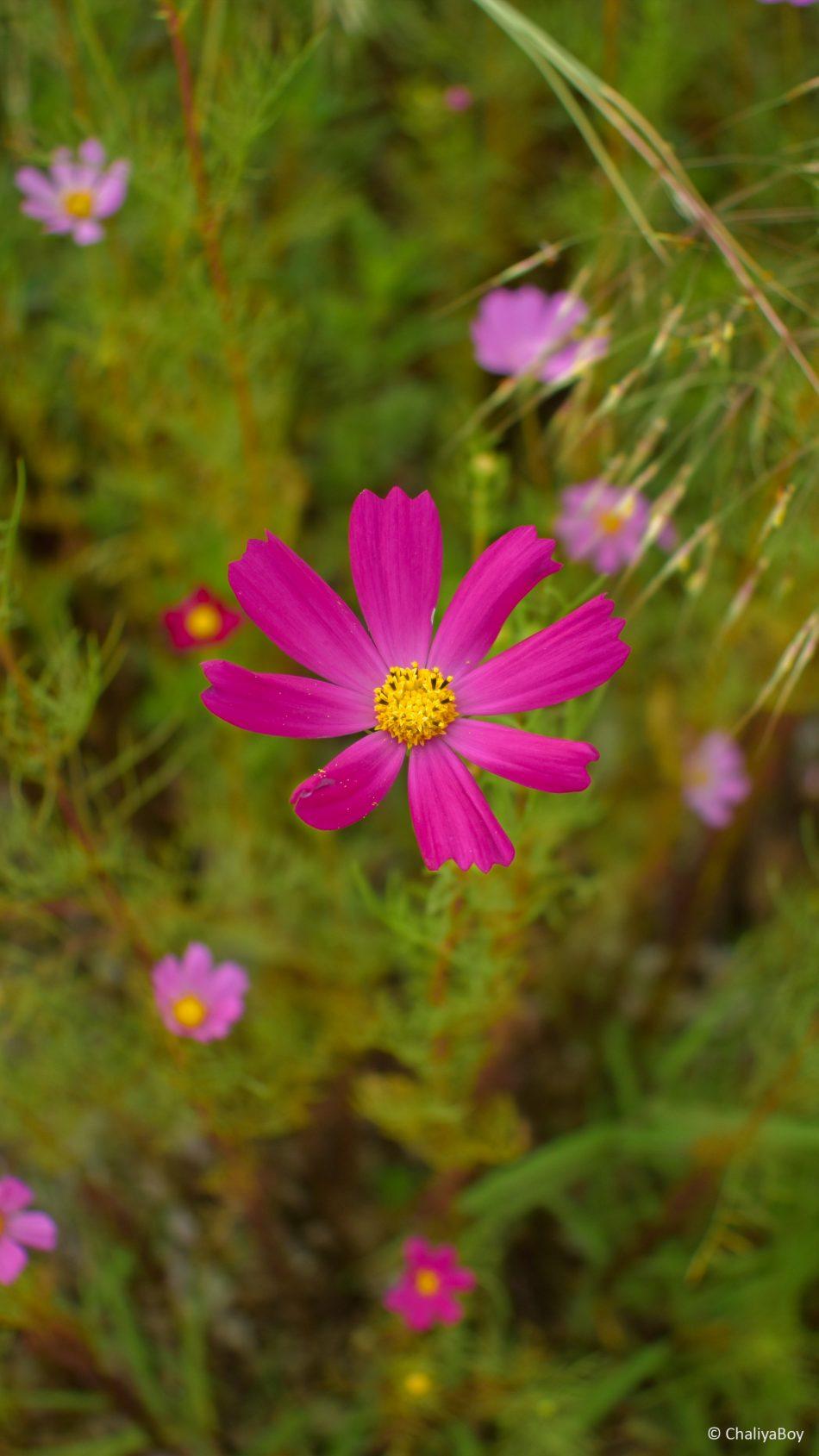 Pink Flower Garden Photography 4K Ultra HD Mobile Wallpaper