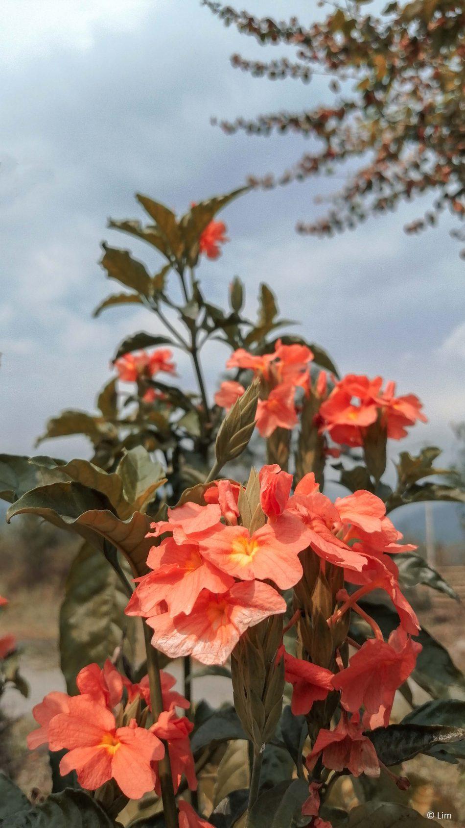 Firecracker Flower 4K Ultra HD Mobile Wallpaper