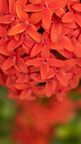 Red Ixora Flower Micro 4K Ultra HD Mobile Wallpaper