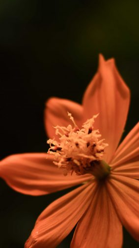 Yellow Orange Coreopsis Tickseed Flower Micro 4K Ultra HD Mobile Wallpaper