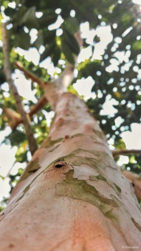 Guava Tree Summer 4K Ultra HD Mobile Wallpaper