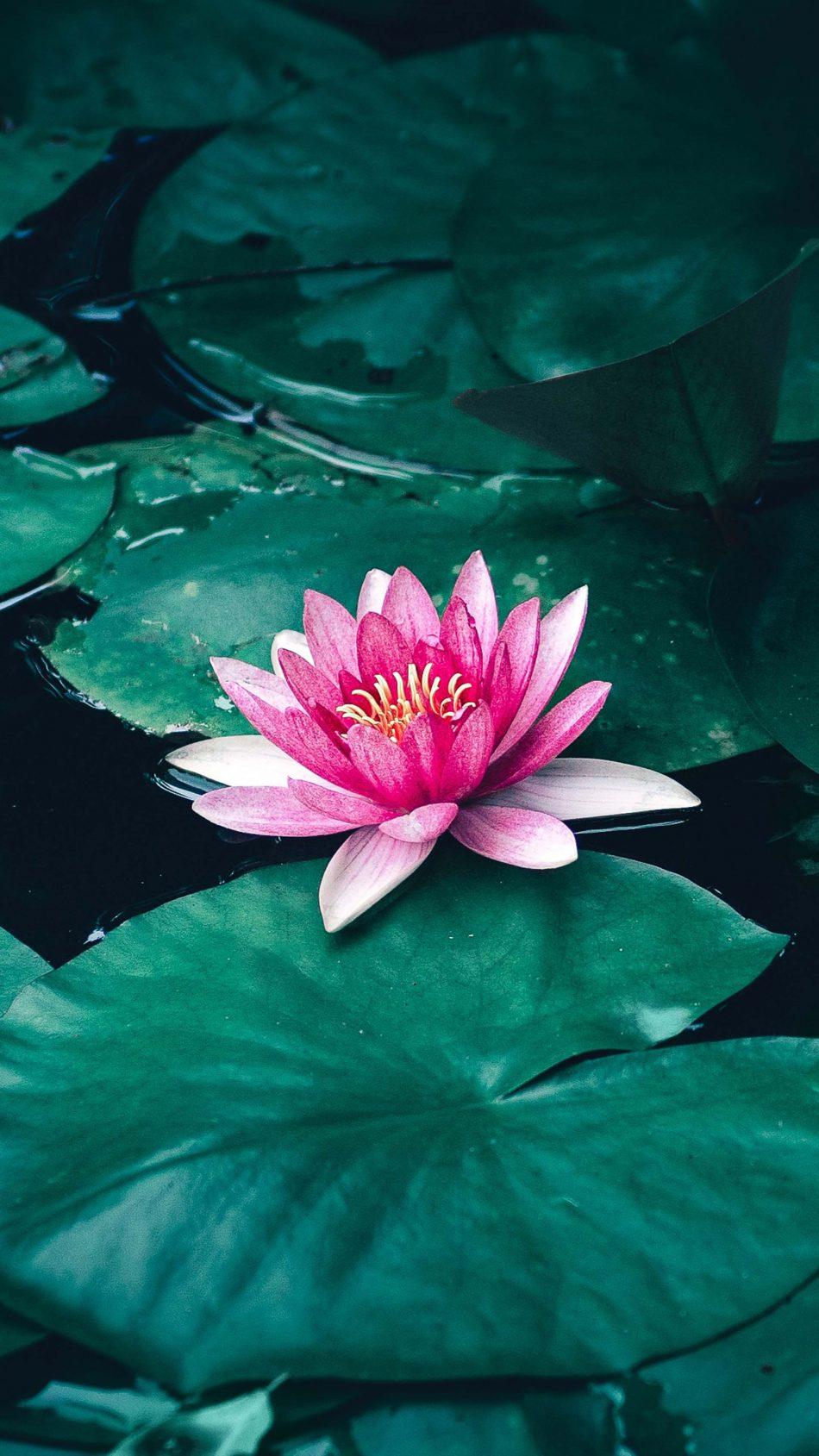 Lotus Flower Leaves Lake 4K Ultra HD Mobile Wallpaper