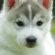 Cute Husky Puppy 4K Ultra HD Mobile Wallpaper