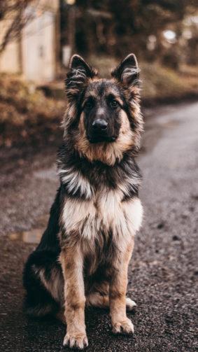 German Shepherd Dog Sits 4K Ultra HD Mobile Wallpaper