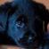 Puppy Labrador Sad Look 4K Ultra HD Mobile Wallpaper