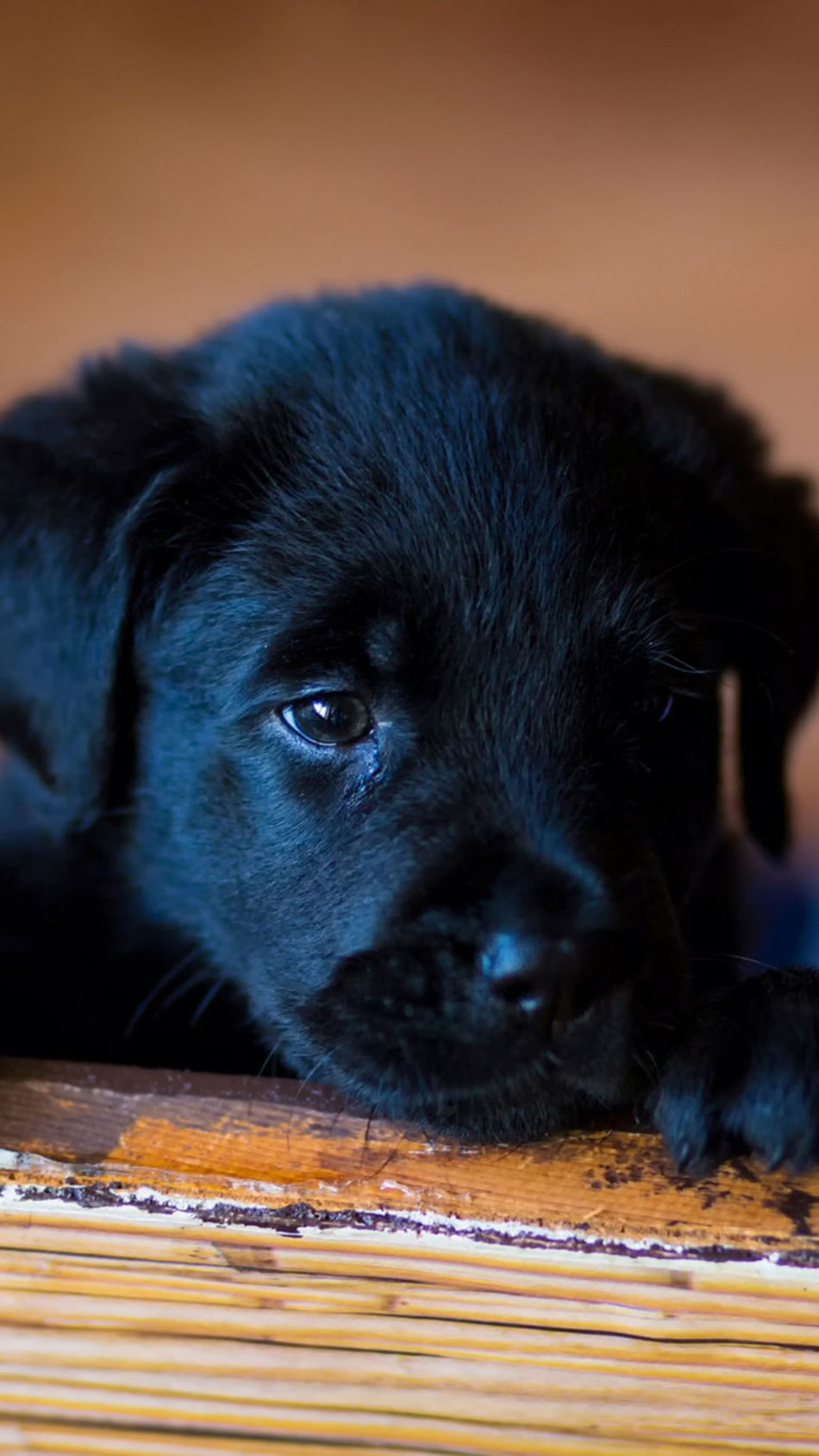 Puppy Labrador Sad Look 4K Ultra HD Mobile Wallpaper