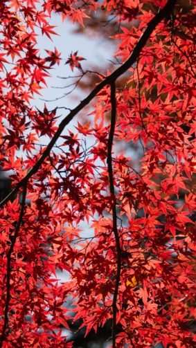 Red Maple Tree Leaves 4K Ultra HD Mobile Wallpaper