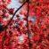 Red Maple Tree Leaves 4K Ultra HD Mobile Wallpaper