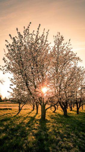 Sunlight Through The Tree Sunset 4K Ultra HD Mobile Wallpaper