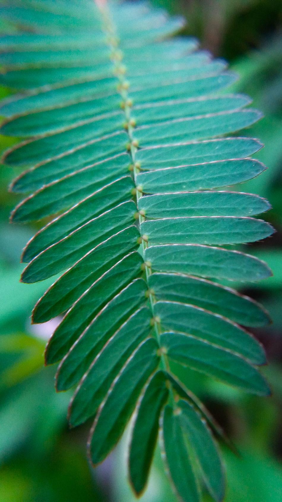 Mimosa Pudica Leaves 4K Ultra HD Mobile Wallpaper