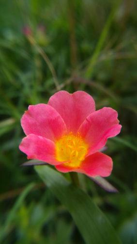 Moss Rose Red Flower Spring 4K Ultra HD Mobile Wallpaper